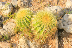 Green Cactus. Royalty Free Stock Photos