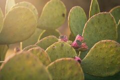Free Green Cactus Close Up Of Prickly Pear Stock Photo - 178211980