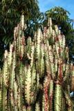 Green cactus Royalty Free Stock Photos