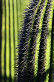 Green cactus in desert with Spines Stock Image