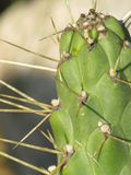 Green Cactus. Detail of a green cactus Cactaceae with thorns royalty free stock image