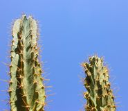 Green cactus drows Stock Photography
