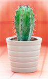 Green cactus in a flower pot on red background Royalty Free Stock Photo