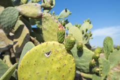 Green Cactus flowers and thorns Stock Image