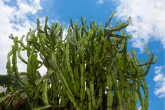 Green cactus forest against blue skies. Green agava-like cactus growing thick as forest against blue skies Stock Images