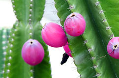 Green cactus with fruit. Stock Image