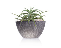 Green cactus in a grey pot. Isolated royalty free stock image