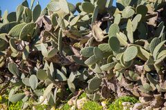 Green cactus plant. Green cactus on isle of malta Royalty Free Stock Photo