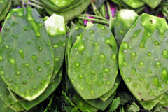 Green Cactus Leaves Stock Images