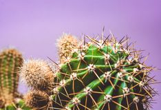 Green cactus with long prickles on a violet background. Exotic. Desert plant. The bright picture with the place for an inscription stock photography