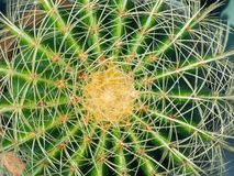 Green cactus with long spines royalty free stock photography