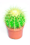 Green cactus with needles in a red pot on a white background. Isolated. Stock Images