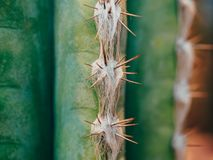 Green Cactus Pachycereus marginatus Closeup Trunk Detail Showing its Spike Rows on the Ribs. Cactus blur. Green Cactus Pachycereus marginatus Closeup Trunk Royalty Free Stock Photography