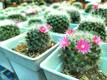 Green Cactus and pink flower in white pot. Cactus farm background Stock Photography