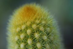 Green cactus plant Royalty Free Stock Images