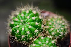 Green cactus plant Stock Photography
