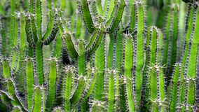 Green cactus plants Royalty Free Stock Images