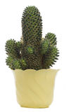Green cactus in pot stock images