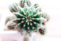 Green cactus in pot Stock Photography