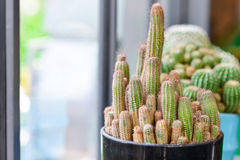 A Green cactus in pot, indoor gardening Stock Image