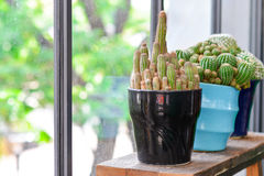 A Green cactus in pot, indoor gardening. Green cactus in pot, indoor gardening stock photo