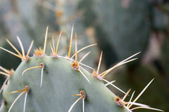 Green Cactus Quills Stock Photography