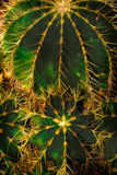 Green cactus spikes Stock Image