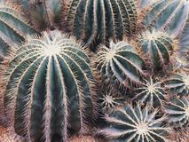 Close up of cactus. Green cactus and succulents royalty free stock images