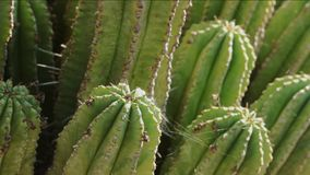 Green cactus in a sunny day. Bright  cactus in a sunny day , the wind moves spider webs stock video