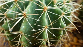 Green cactus thorn close-up Stock Images