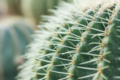 Green cactus thorns in the cactus graden. Royalty Free Stock Image