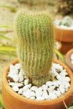Green cactus tree. In nature garden stock photos