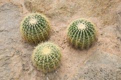 Green cactus tree. On sand floor stock photo
