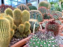 Green cactus with very sharp spines. stock image