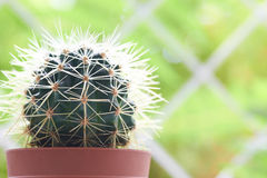 Green cactus Royalty Free Stock Images
