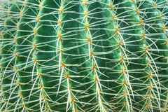 Free Green Cactus With Long Thorns Royalty Free Stock Photos - 39884968