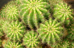 Green cactuses Stock Photos