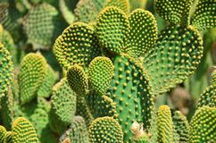 Green cactuses. Green blue cactuses in the garden with yellow needles Royalty Free Stock Photography