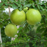 Green calabash tree Stock Photo