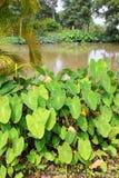 Green caladium elephant ear plant. Green caladium Colocasia esculenta var. aquatilis Hassk known as 'Elephant Ear Plant royalty free stock photography