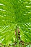 Green Caladium leaf Royalty Free Stock Photo