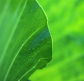 Green caladium leaf with dew drops Stock Photography