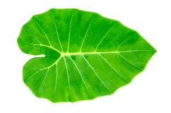 Green Caladium leaf,Elephant Ear Royalty Free Stock Photos