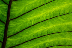 Green caladium leaf textures. Background Stock Photography