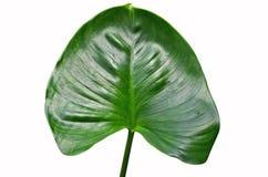 Green caladium leaf. On white background Stock Photo