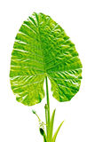 Green Caladium leaf2 Stock Image
