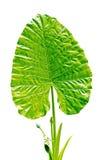 Green Caladium leaf2 Stock Image