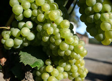 Green California Grapes. Green grapes in a vineyard which grows grapes for wine and champagne in California. Shallow depth of field, focus on front bunch of Royalty Free Stock Photo