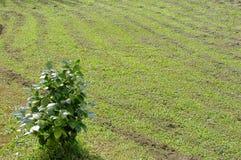 Green Camellia plant Stock Photo