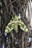 Green Camouflage Moth Stock Photos